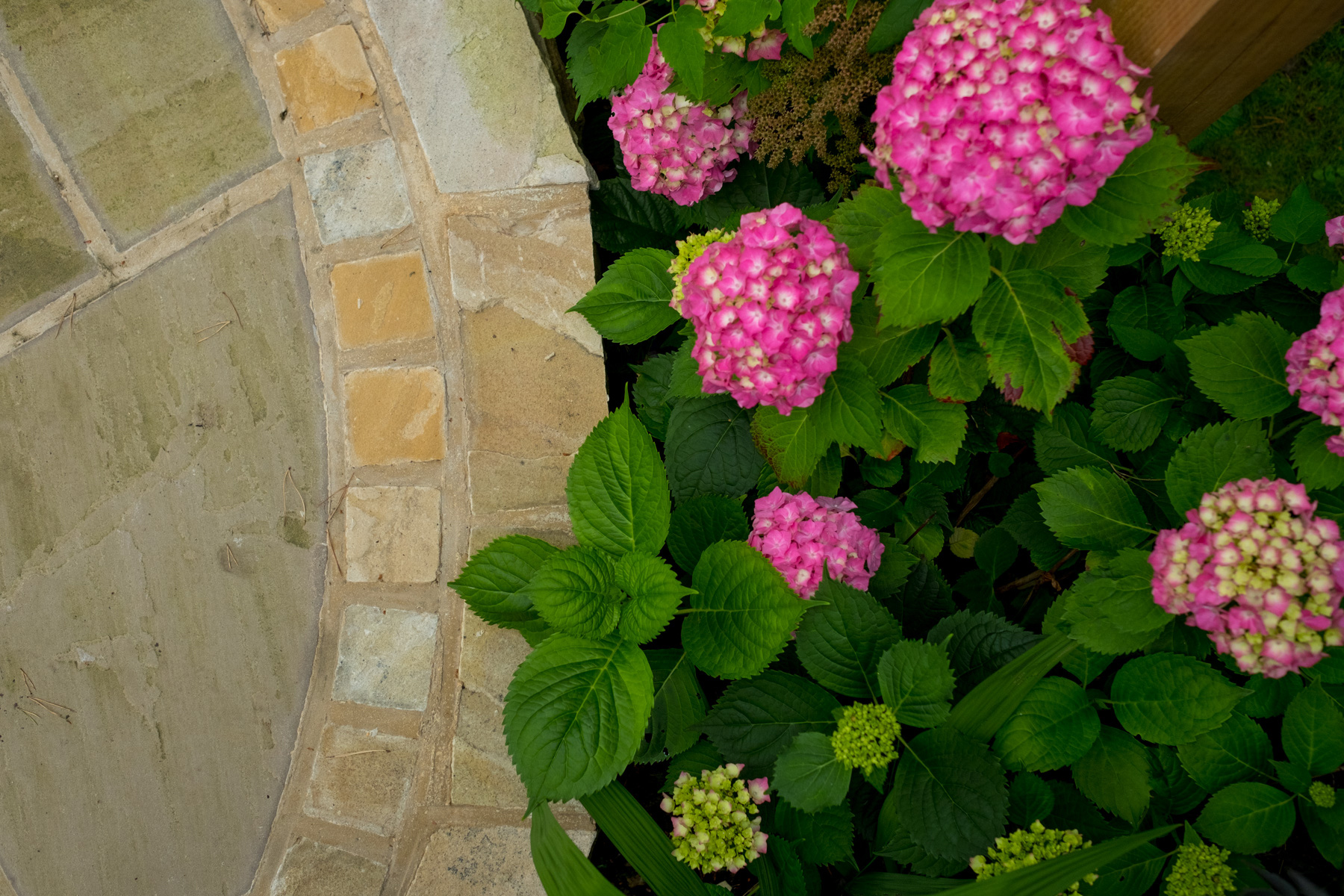 Hydrangea. Leeds garden design and build, planting plans