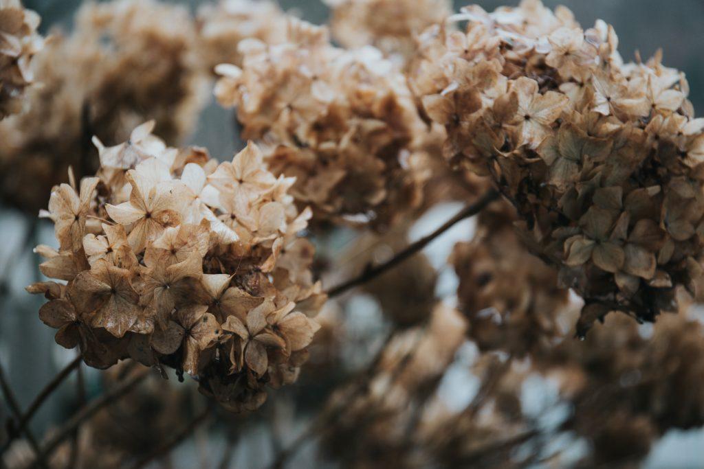 hydrangea, seeds, gardening, autumn, seedhead,