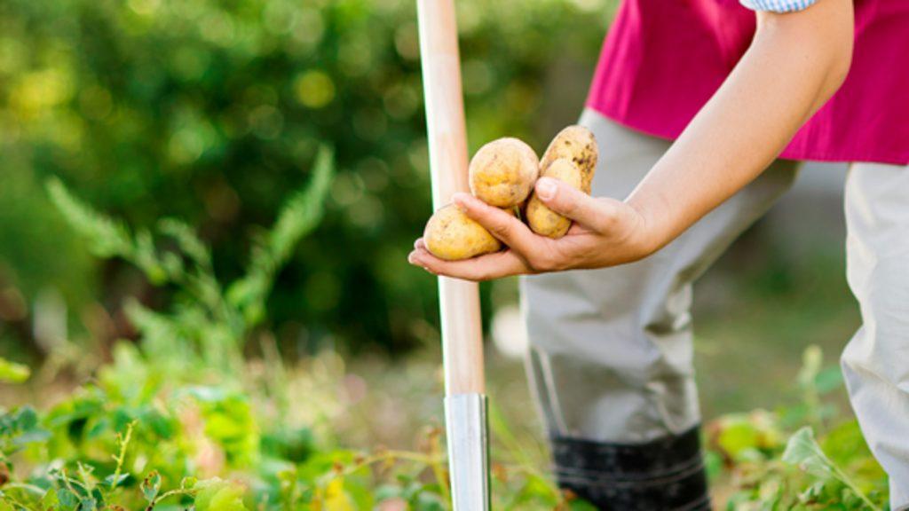 potatoes, gardening, veggie, veggiegarden