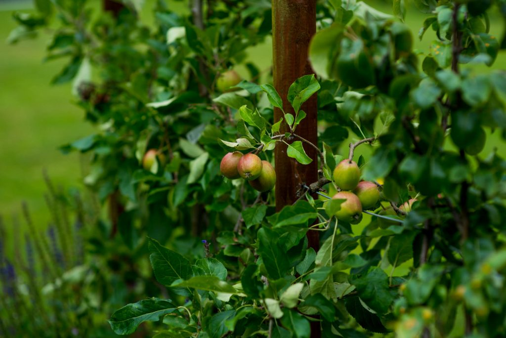 Apple trees. Garden design Leeds and Harrogate