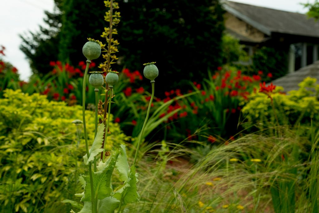 Poppy seed heads. Formal English garden. Harrogate garden design