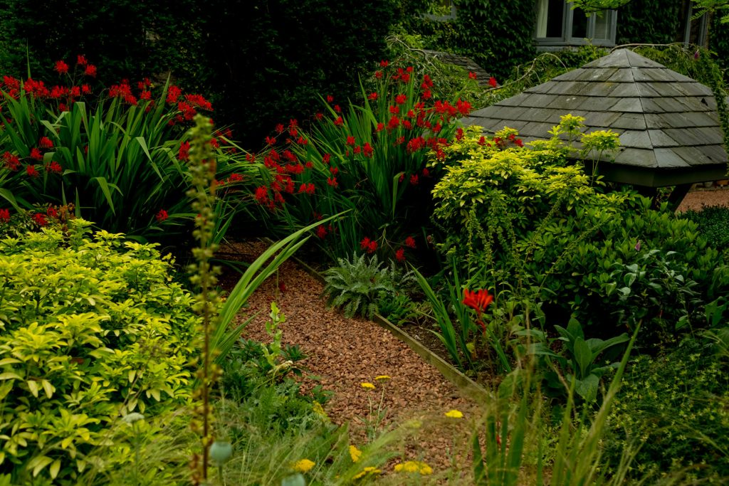 Crocosmia and evergreens in formal english garden. Harrogate gar
