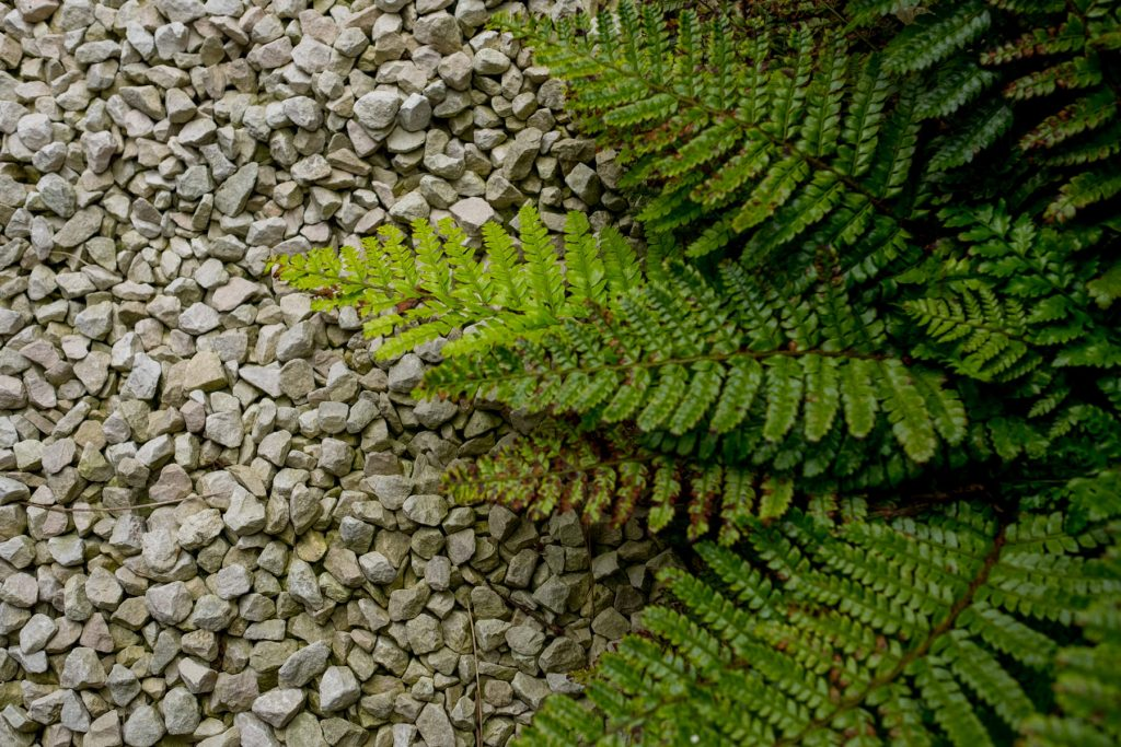 Ferns on gravel path. Yorkshire garden design and build.