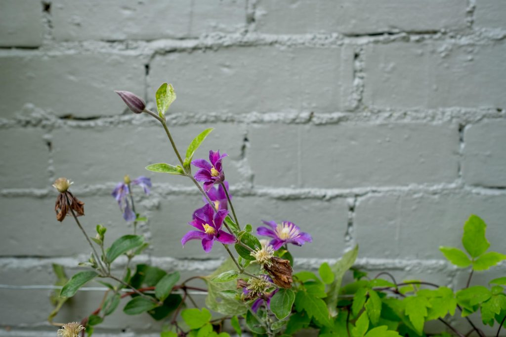 Clematis on grey wall. Yorkshire garden design and build.