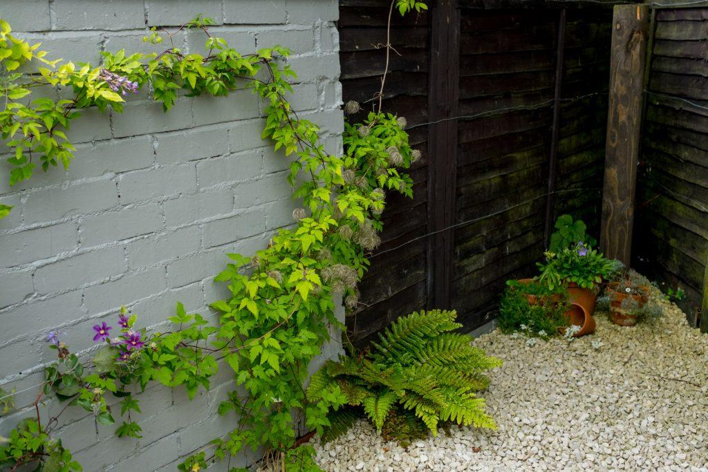 Clematis. Leeds garden design and build