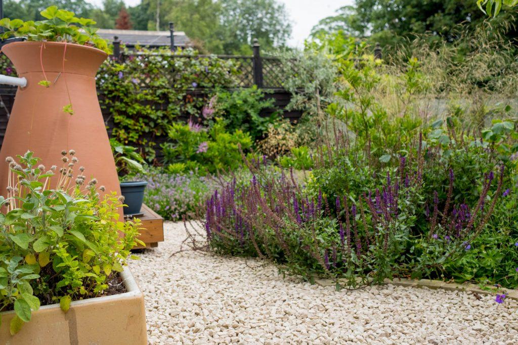 Salvia in courtyard garden.