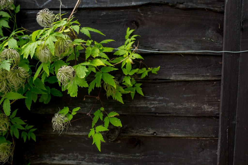 Clematis on back fence panel. Yorkshire garden design and build.