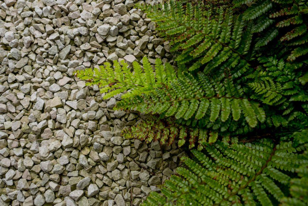 Ferns on gravel path. Yorkshire garden design and build.