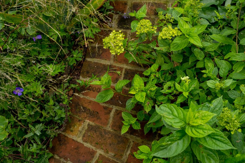 Reclaimed brick path and geraniums.