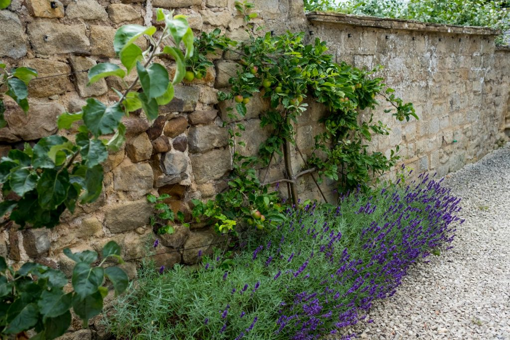 Apple tree with lavender border. Harrogate Garden DEsign and Bui