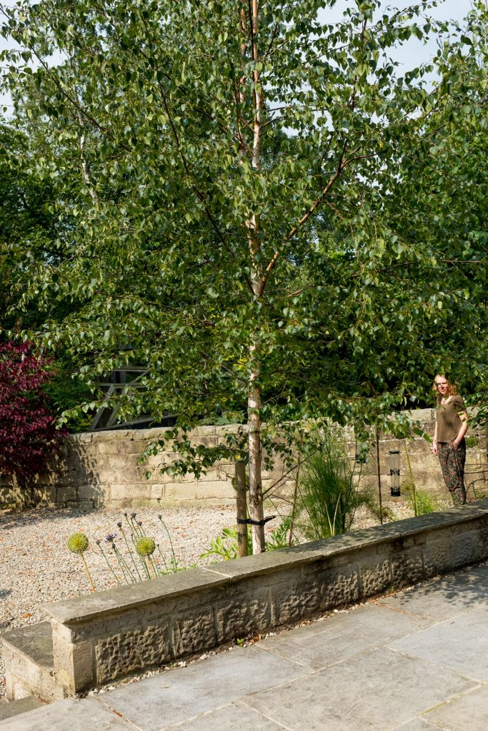 Silver Birch and allium heads. Harrogate Garden design and build
